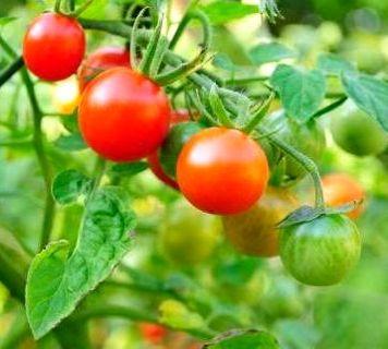 томаты лучшие сорта