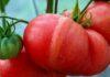 сорта томатов гигантов