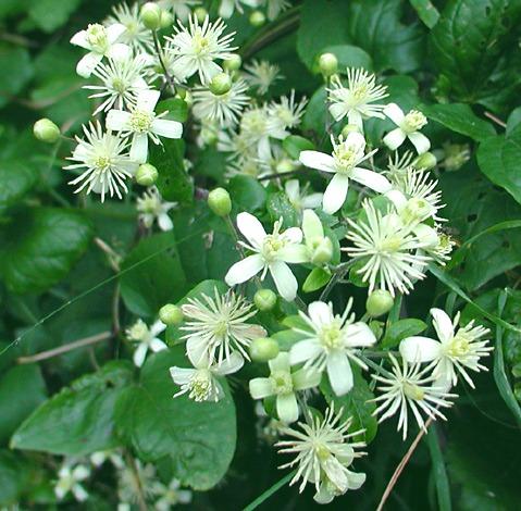 Клематисы мелкоцветковые Фаргезиоидес