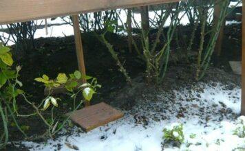 укрытие роз на зиму-вид
