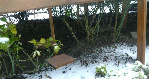 Укрытие роз на зиму в подмосковье спанбондом