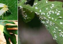Белокрылка на комнатных растениях