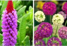 Первоцвет весенний Примула