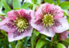 морозник цветок фото и описание