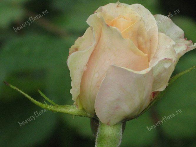 roza-45