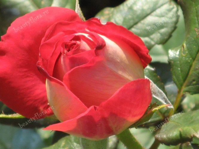 roza-46