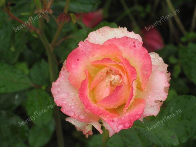 roza-52