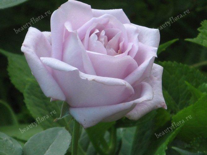 roza-53