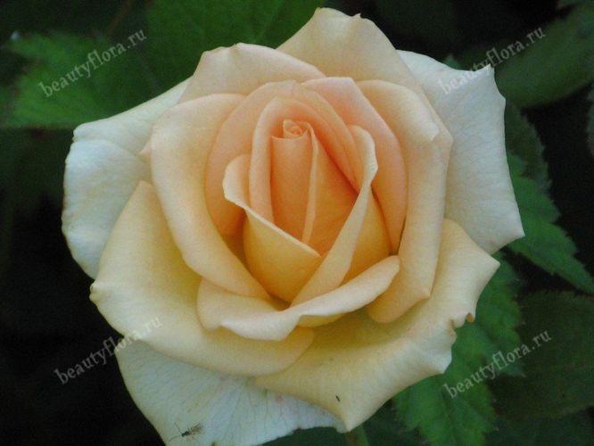 roza-54