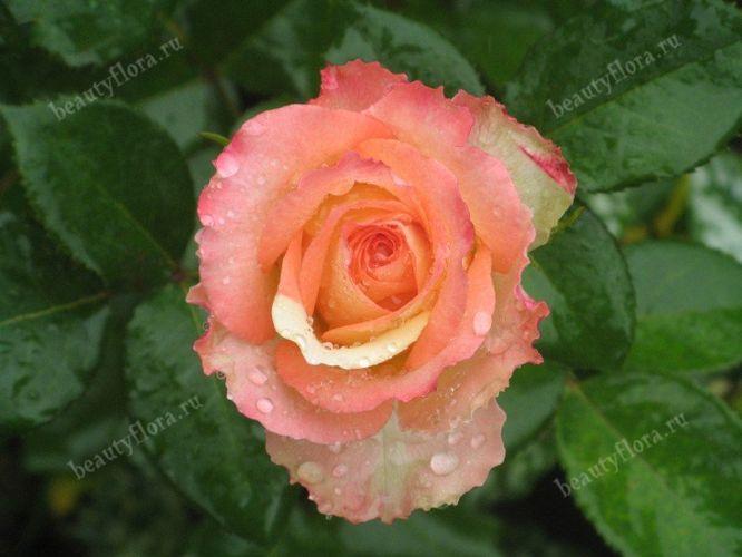 roza-55
