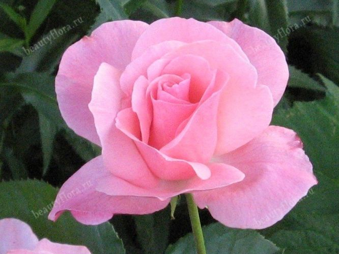roza-57
