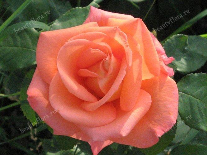 roza-59