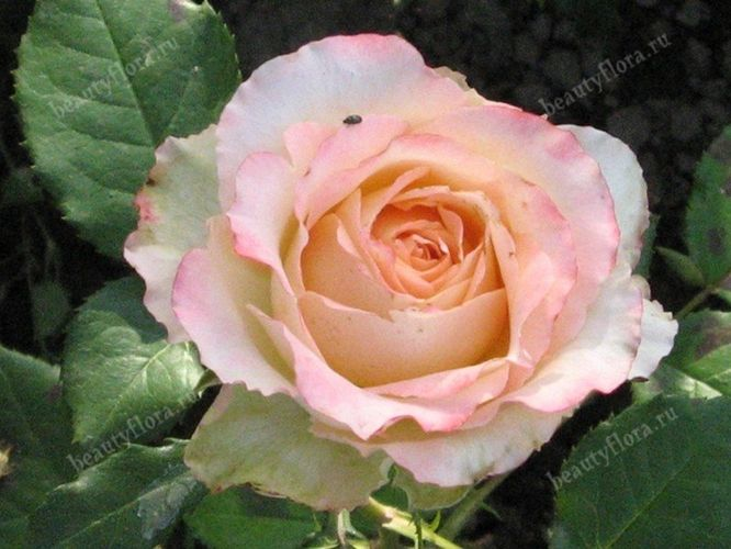 roza-60