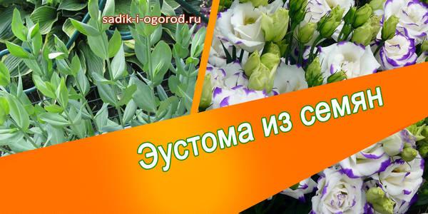Как вырастить цветок лизиантус в домашних условиях{q}