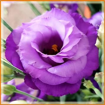 цветок эустомы-2