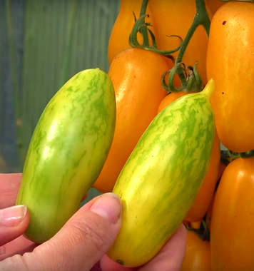 созревание томата банановые ноги