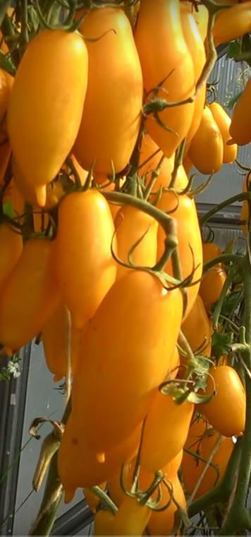 урожайность сорта Банановые ноги