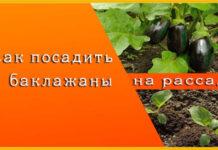 как посадить баклажаны на рассаду