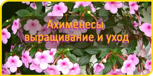 ахименесы выращивание